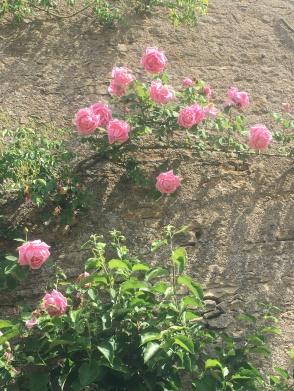grimpant rose