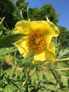 pivoine jaune