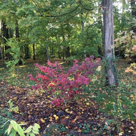 hamamelis automne