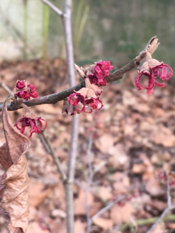 hamamelis fleurs