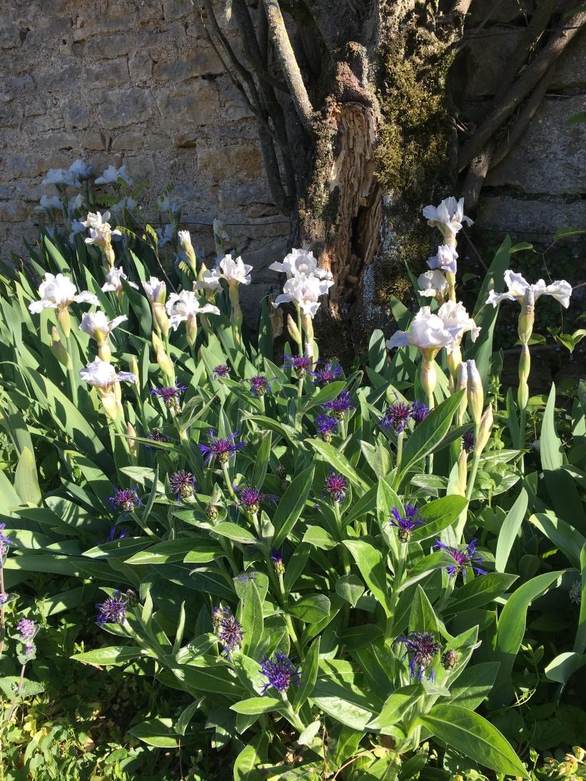 iris blanc barbeaux