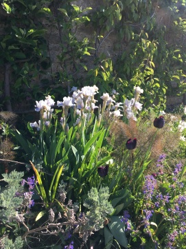iris blanc tulipes