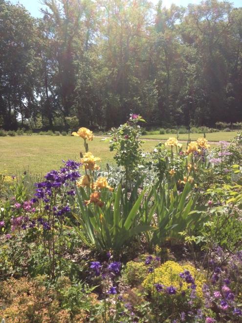 iris roseraie