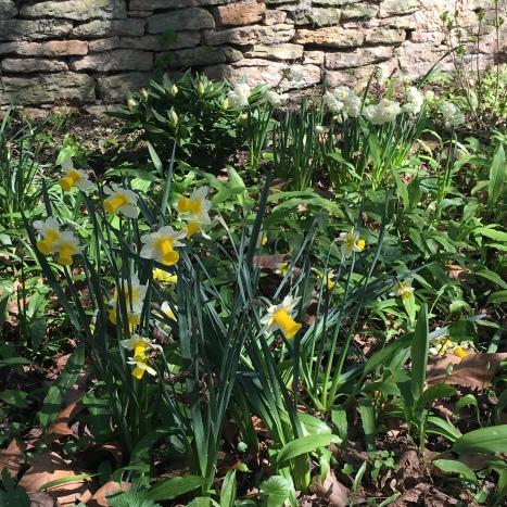 narcisses jaunes et blanches