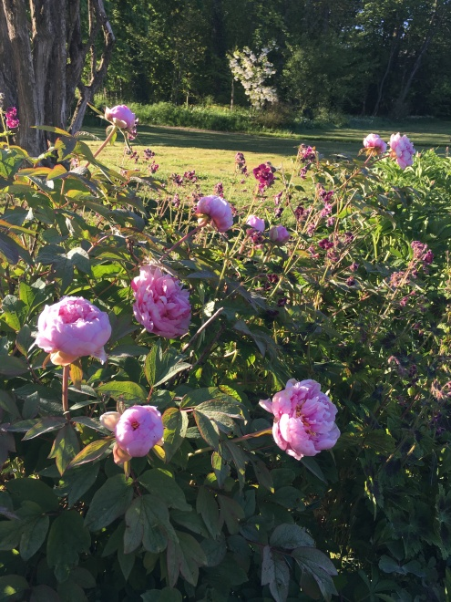 pivoine herbacée rose