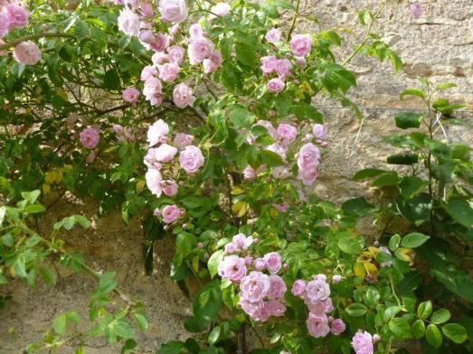 rosier grimpant rose clair