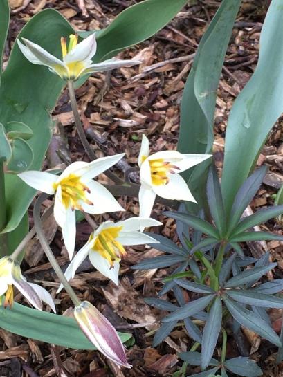 tulipes botaniques 2