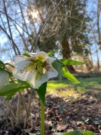 floraison hellebore blanche