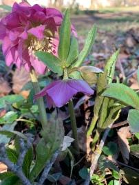floraison hellebore rose double