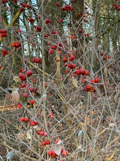 fruits malus