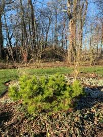 petit conifere 2