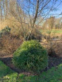petit conifere 4