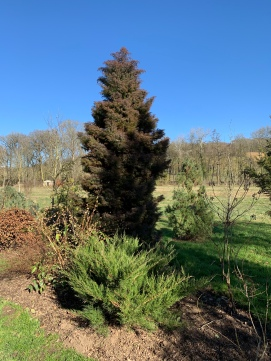petit conifere 5