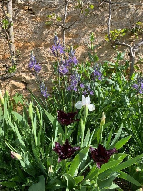 camassia-tulipe noire et iris