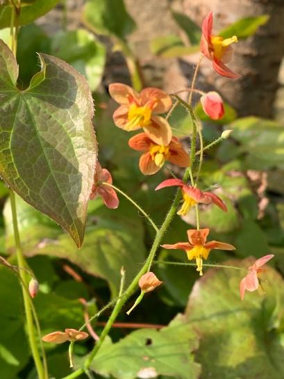 epimedium orange