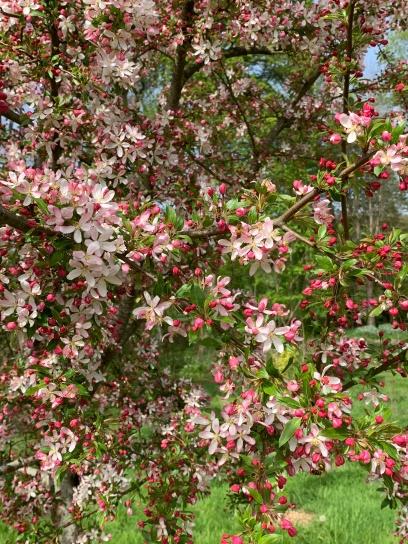 malus fleurs beauté