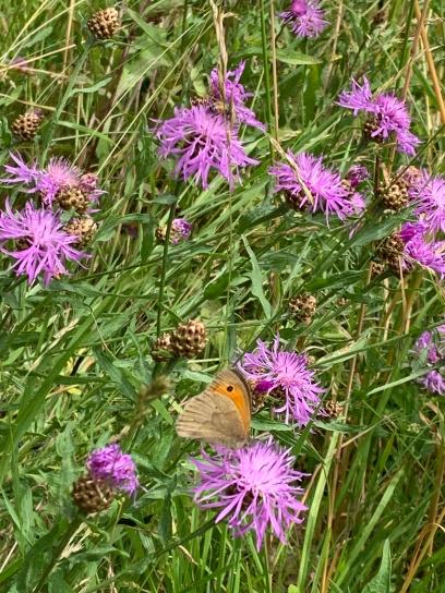 prairie papillon