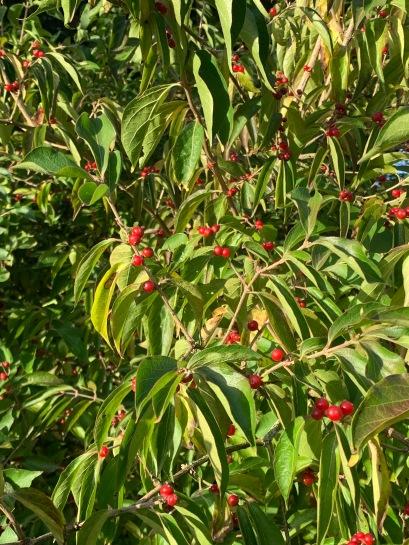 Lonicera fruits