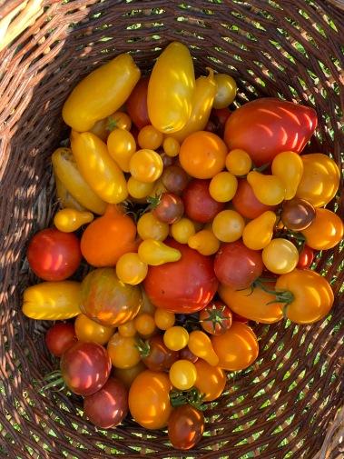 recolte tomates