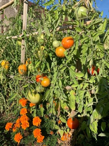 tomates1